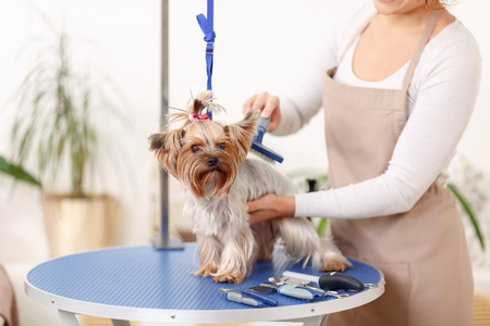 grooming: Brushing process. Small Yorkshire terrier sits on the table while being brushed by a professional.