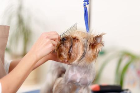 thoroughly: Enjoying procedure. Lovely Yorkshire terrier is thoroughly enjoying the muzzle brushing process.