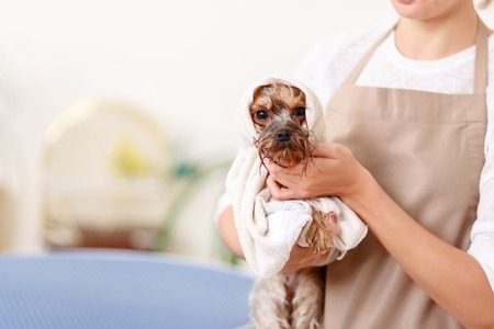 groomer: Look at this muzzle. Wrapped in towel Yorkshire terrier looks absolutely cute after washing time. Stock Photo