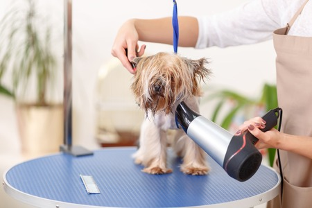 body grooming: Muzzle maintenance. Yorkshire terrier in the process of being groomed with hairdryer.