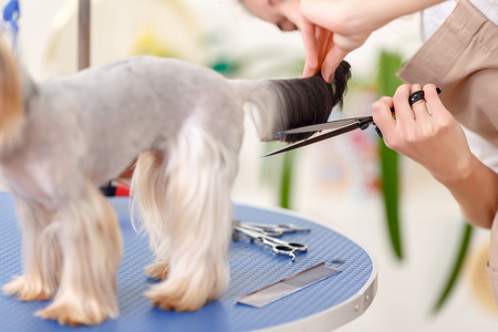 groomer: Tail hair trimming. Yorkshire terrier stands quietly while groomer works with its furry tail.