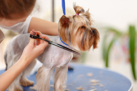 pet grooming: Changing hairdo. Yorkshire terrier stands still while its lower muzzle hair is being cut.