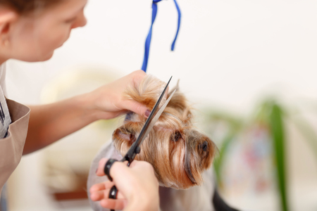 body grooming: Scissors work. Miniature Yorkshire terrier stands still while its hair is being cut.