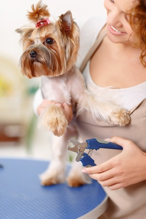 groomer: Claws trimming. Yorkshire terrier looks alarmed while groomer is about to trim its claws