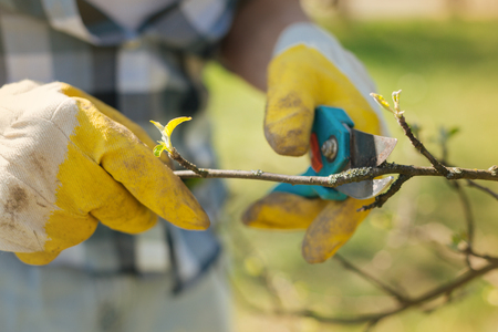 High time to do it. Close up of a pruner in hands of an adult man pruning a tree with it while enjoying gardening Stock Photo
