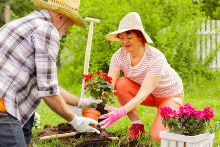 Flowers into soil. Grey-haired husband and wife putting red flowers into soil while planting them