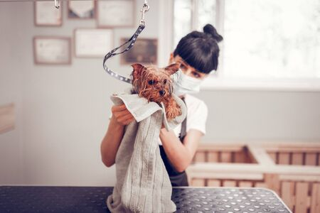 Woman drying dog. Dark-haired woman wearing mask and black apron drying dog with towel Standard-Bild