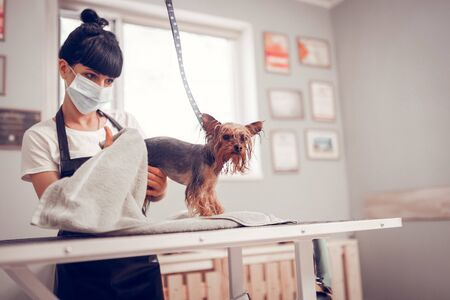 Drying cute dog. Woman wearing mask and apron drying cute dog after washing and shaving Stock Photo