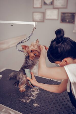Little cute dog. Top view of dark-haired woman grooming little cute dog using electric shaver Foto de archivo