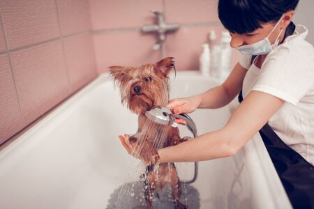 Washing cute dog. Dark-haired woman wearing mask washing cute little dog after grooming Stock Photo - 126431161