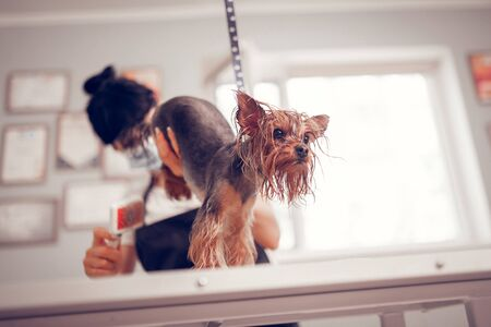 Little dark-eyed dog. Cute little dark-eyed dog feeling sacred while worker grooming him in the grooming salon Stock Photo - 126431305