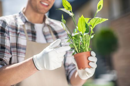 Gardening time. Close-up of male hands in protective gloves holding spatifilium in pot