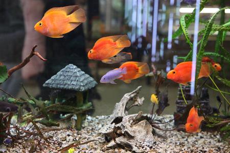 Lots of beautiful aquarium fish for home Stock Photo
