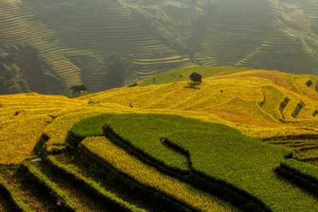 arroz: Campo colgante del arroz en la temporada del arroz