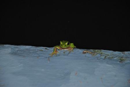 fauna: Fauna amphibious Sardinia