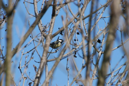 volatile: yellow Tit among the branches Stock Photo