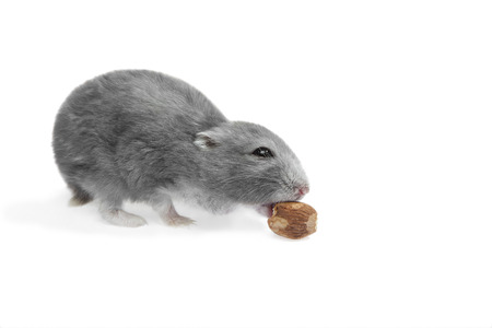 sneaks: Hungry hamster sneaks nut  In addition, clipping path included