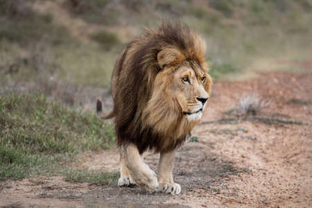 Majestic male African lion king of the jungle - Mighty wild animal of Africa in nature