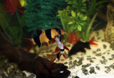 aquaria: Two botia clown