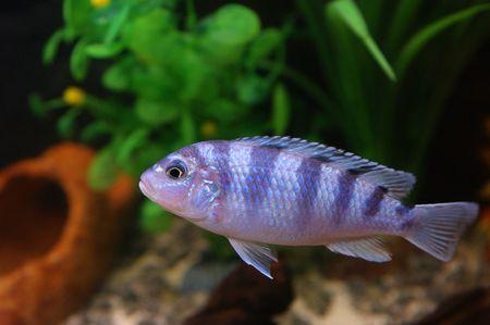 cichlidae: fish 2