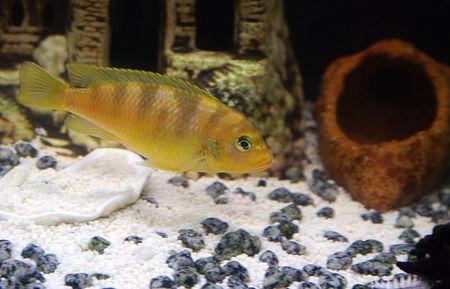 cichlidae: fish 1 Stock Photo