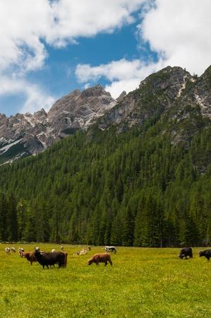 wroth: Kuehe weiden auf der Almwiese Stock Photo