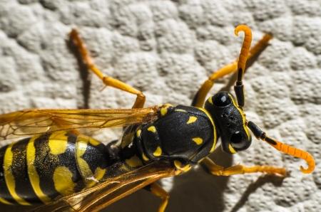 optional: Optional wasp