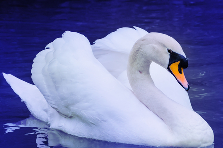 metamorphosis: A white swan swimming through the pond