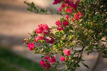 bougainvillea flowers: Pink Bougainvillea flowers in temple