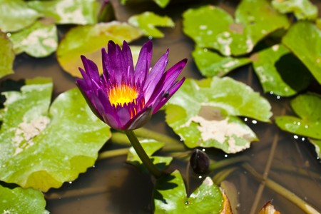 nymphaeaceae: In thai its call Bua Luang, another name is Nelumbo,Nymphaeaceae Stock Photo