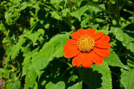 a gerber daisy on the petals with space for your text photo
