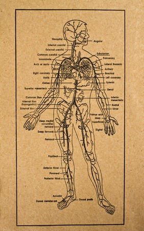 the stomach and intestines: human body showing internal organs system,medical