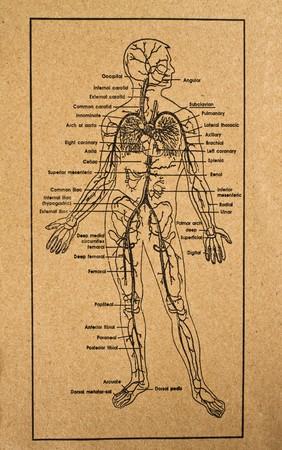 human body showing internal organs system,medical