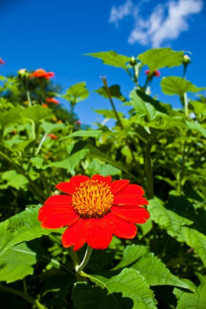 red fresh flower and clean blue sky photo