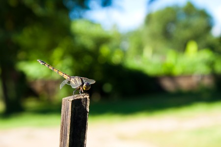 vulgatum: A small dragonfly at rest Sympetrum vulgatum