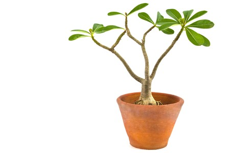 Desert rose or Ping Bignonia in flowerpot isolated on white background photo