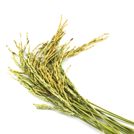 crop  stalks: wheat isolated on white background