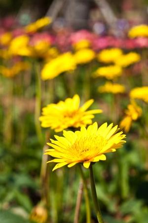 gebera: gebera (african daisy) smooth feeling