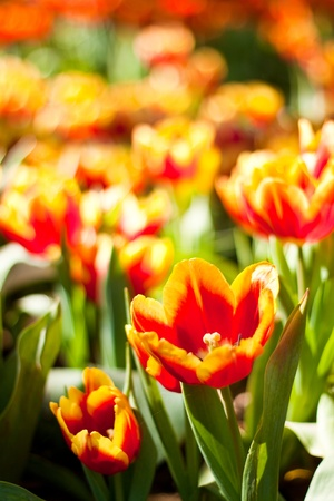Close up on fresh tulips in warm sunlight photo