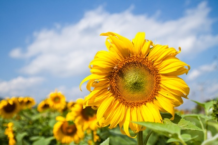 sunflower seeds: beautiful sunflower with green leaves,clear nature