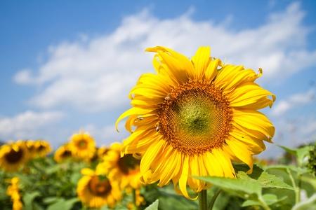 prachtige zonne bloem met groene bladeren, duidelijk aard Stockfoto