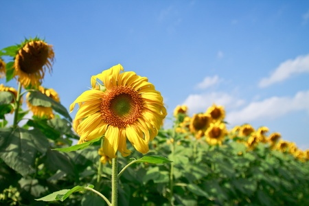 beautiful sunflower with green leaves,clear nature photo