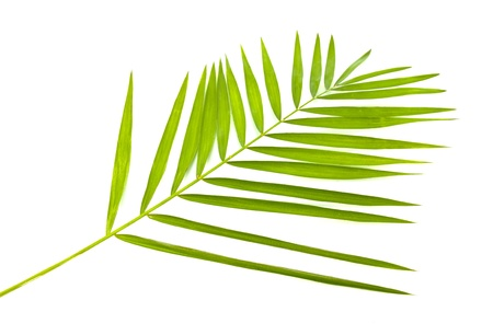green leaf of palm tree isolated on white Stock Photo - 9105056