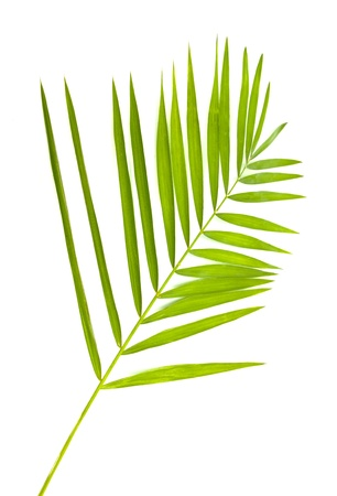 diagonale: green leaf of palm tree isolated on white