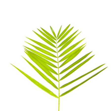 nervure: green leaf of palm tree isolated on white