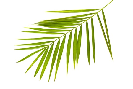green leaf of palm tree isolated on white Stock Photo - 9251801
