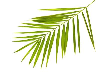 nervure: verde hoja de palmera aislado en blanco Foto de archivo