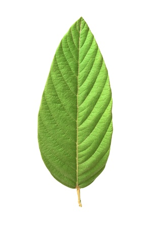 A beautiful lush green leaf. Isolated over white Stock Photo - 9283978