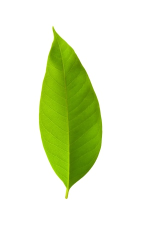 leaf close up: A beautiful lush green leaf. Isolated over white