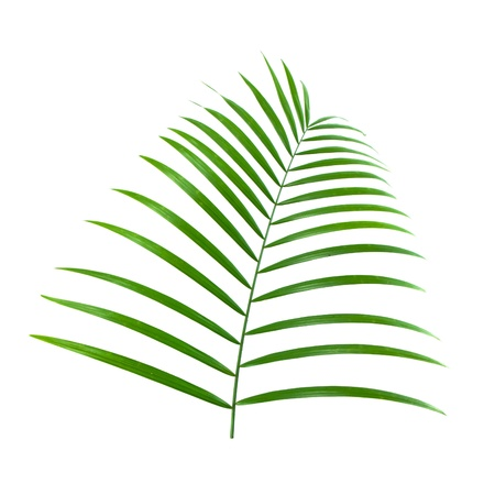diagonale: green leaf of palm isolated on white background Stock Photo
